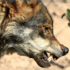signsthatidentify: (Wolf - profile)