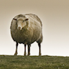 jesse_the_k: Photo of well-nourished sheep staring straight at reader (ewe looking at me?)