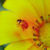 alliana07: (stock: lady bug on flower)