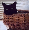 gingicat: black cat - why are you disturbing me in my throne basket? (basket cat)