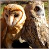 karamergen: Two owls facing opposite directions (owls)