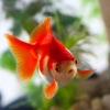 qilora: (goldfish)