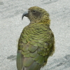 gemcode: A type of alpine parrot called a kea (kea)