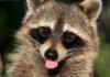 qilora: (Raccoon - ugh.)