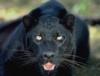 nightwitch: (Black Panther) (Default)