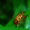 gomimushi: Photo of a baby cicada (Photo: Bug)