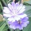 wyld_dandelyon: (greenback bee)