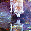 green: a wolf taking a drink from a pond or lake, its reflection visible and clear (stock: wolf)
