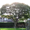kalypso: Acer in leaf (Garden)