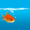jadesfire: Very orange goldfish on very blue background (Goldfish)