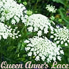 dwgm: (queen anne's lace)