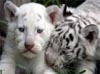 luthiea: (baby tigers!)