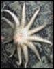 leftyjew: (starfish)