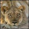 didntseeit: (lioness)