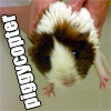 "pinesandmaples: A guinea pig looking surprised with the text ""Piggycopter"" (animals: piggycopter!)"