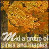 "pinesandmaples: A picture of maple trees in fall with the text ""'Mid a group of pines and maples."" (college: alma mater)"
