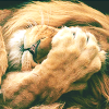 kittydesade: a male and maned lion with a paw over its face as if to say 'oh humans' (facepaw)