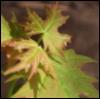 e_underwood: (Leaves)