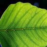 narya_flame: (TRSB, Leaf)