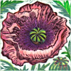 nightdog_barks: A purple poppy flower; illustration by Hannah Firmin (Flower purple poppy)