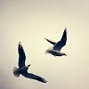 aoftheis: (two solitudes)
