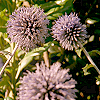 mossgreen: Close-up of a thistle in flower (Default)
