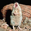 rydra_wong: Grasshopper mouse stands on its hind legs to howl. (turn venom into painkillers)
