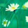 tamakin_arts: (Daisies green)