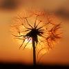 tamakin_arts: (Dandelion)