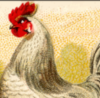ljacob: a chicken (chook)
