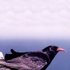 silk_for_calde: (You have daubed Oreb the raven)