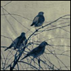 aliform: Birds in a tree on a gray day (birds)