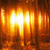 la_samtyr: woods in golden light (Lothlorien)