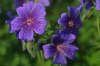 mirlacca: still blue flowers (blue flowers)