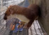 hilarita: stoat scampering in a mesh tube (scampering stoat)