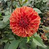 sonreir: photo of an orange-and-yellow dahlia in bloom (Default)