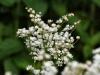 mirlacca: (white flowers)