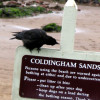 longlivehumour: crow pecking at the sign for Coldingham Sands (crow)