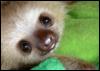 smooch_sloth: Photo of a baby sloth (pic#12723747)