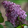 lielac: A clump of purple lilac flowers. (Default)