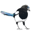 weconqueratdawn: illustration of a magpie (magpie)