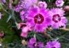 afrogeekgoddess: A close-up shot of bright purple spiky wildflowers (Default)