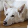 yukisa: (white shepherd)