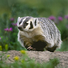 dignityisforotherpeople: A beautiful American badger running through a field with wildflowers. (badger)