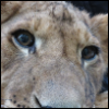 meltc: close up on face of juvenile lion (animals, icons, myphotos)