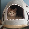 tsaiko: Orange and white cat in a shark shaped cat bed (cat in shark)