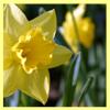 rdprice29: (daffodil2)