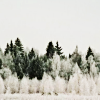 jesse_the_k: snow covered bushes in front of dark green pines (winter landscape)