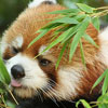 firecat: red panda eating bamboo (red panda eating bamboo)