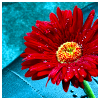 rdprice29: (red gerbera daisy)